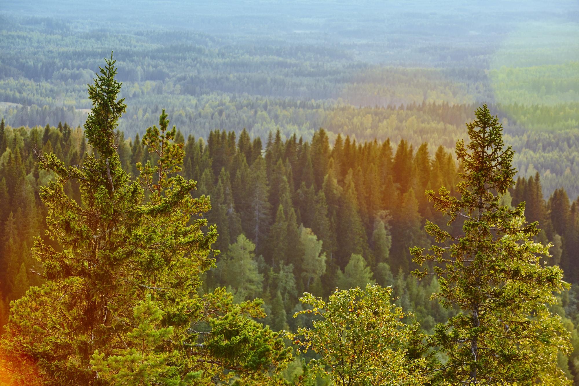 Finland forest at sunset. Koli National Park. Pielinen area. Karelia